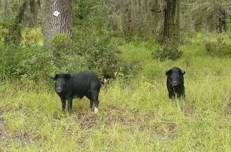 Wild hog, one of the oldest invasive species in the U S